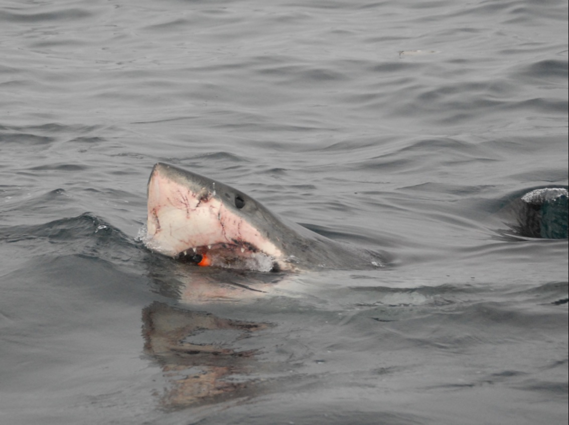 In the belly of the beast: a shark tag's travels