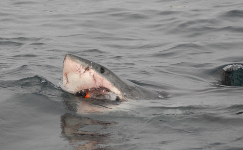 In the belly of the beast: a shark tag'stravels