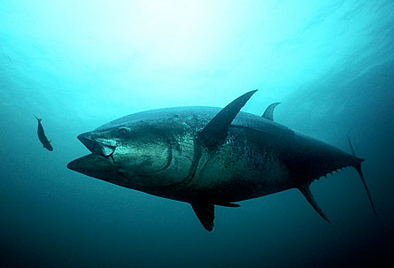 Atlantic bluefin tuna recovery is a topic of the Bluefin Futures Symposium. Photo © Gilbert van Ryckevorsel.