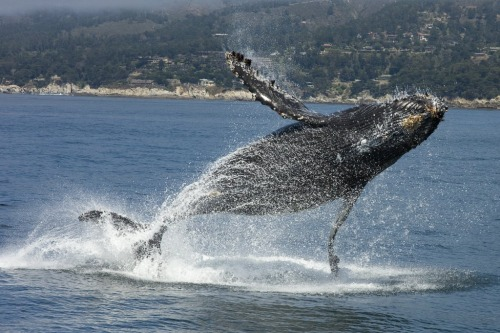 A humpback whale breaches off the Big Sur coast. Photo © Jim Capwell.