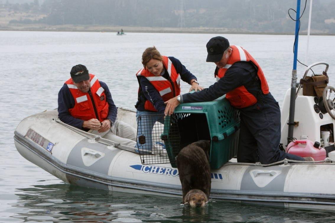 We study sea otters in the wild to learn more about their impacts on ocean ecosystems, and re;ease rescued animals including stranded and orphaned pups that are raised by surrogate mothers at the aquarium