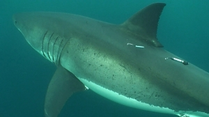 White shark with tags