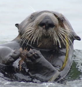 Crabs are a favorite prey item for sea otters in Elkhorn Slough. By eating the crabs, otters help restore the health of the slough ecosystem. (Photo by Ron Eby)