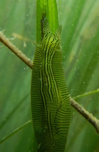 "The sea slug Phyllaplysia taylori, also known as the ""eelgrass sea hare,"" feeds on algae growing on the leaves of eelgrass. (Photo by Brent Hughes)"