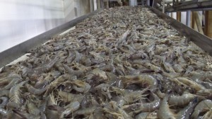 Fresh-Gulf-shrimp