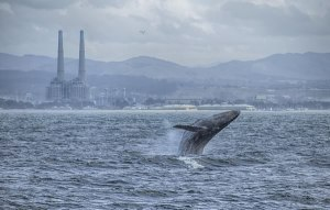 A humpback whale breaches off Moss Landing, with power plant in background. Photo ©Shane Keena