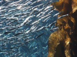 Anchovies abound in Monterey Bay, from open water to kelp forests close to shore. Photo: Randy Wilder