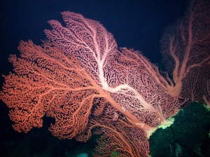 Ancient deep sea corals, some several feet across, are among the MBARI discoveries on the Davidson Seamount, an underwater mountain off the Big Sur Coast. (Photo courtesy NOAA/MBARI)