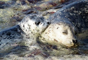 Harbor seal mother and pup. Photo: Kim Worrell