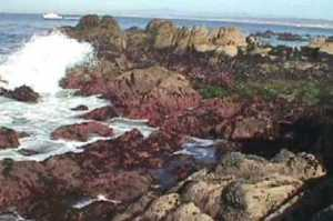 Hopkins Marine Reserve was created in the 1930s in Pacific Grove. Photo courtesy Stanford University
