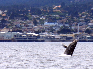 Humpback whale off the Monterey Bay Aquarium. Photo © Richard Ryan
