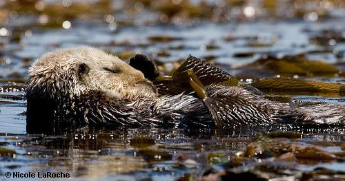 Sea otters' perilous path to recovery