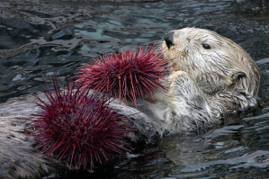 By eating sea urchins and other grazing animals, sea otters allow kelp forests to thrive. Photo by Neil Fisher