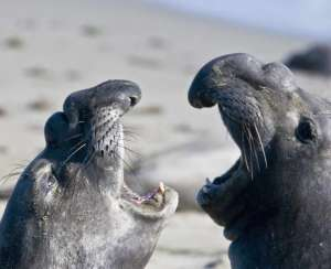 Elephant seals at the growing colony at Piedras Blancas, on the Big Sur coast.