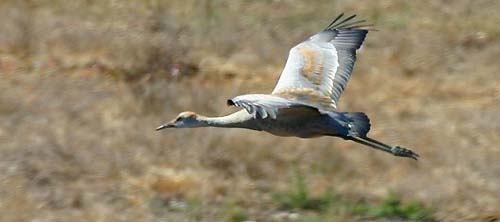 Sandhill Cranes In Epic Oak Grove >> August 2015 Conservation Science