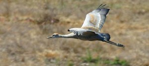 Sandhill crane in Moro Cojo Slough. Photo © Blake Matheson