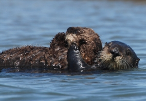 Diving to avoid people in watercraft exacts a an especially heavy toll on nursing mother sea otters. Photo: Randy Wilder