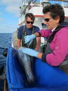 Chuck Farwell of the Monterey Bay Aquarium and Barbara Block of Stanford University tag a Pacific bluefin tuna for the study. Photo courtesy Tuna Research and Conservation Center.