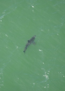 Juvenile white shark spotted in Monterey Bay the week of September 7.