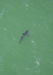 Juvenile white shark spotted in Monterey Bay the week of September 7.