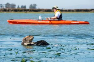 I's possible to observe sea otters and other wildlife, and maintain a respectful distance. Photo courtesy Frank Steube.