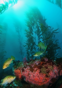 By using rebreathers, divers hope to observe behavior of rockfishes and other animals without disturbing them. Photo © Bill Morgan.