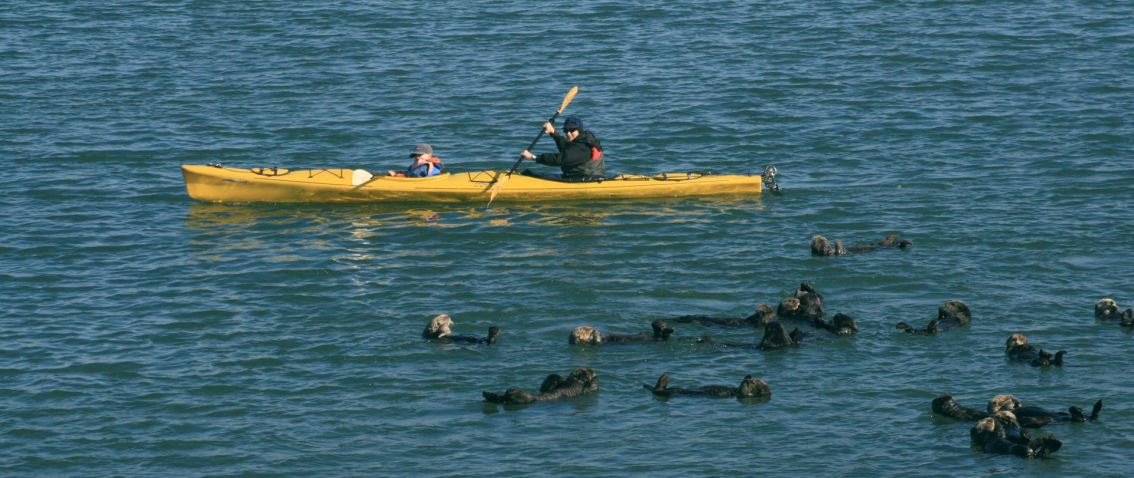 For sea otters,  'death by a thousand cuts'