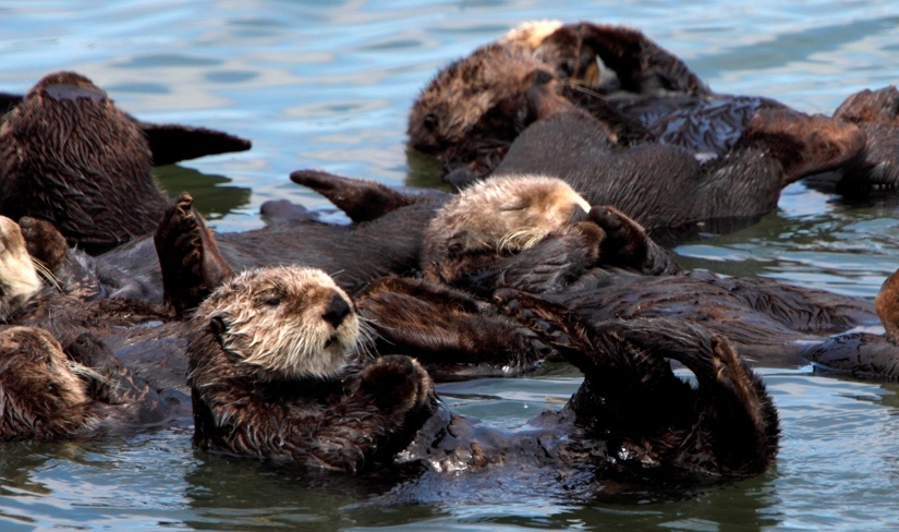 Sea otter numbers are up. So, what does itmean?