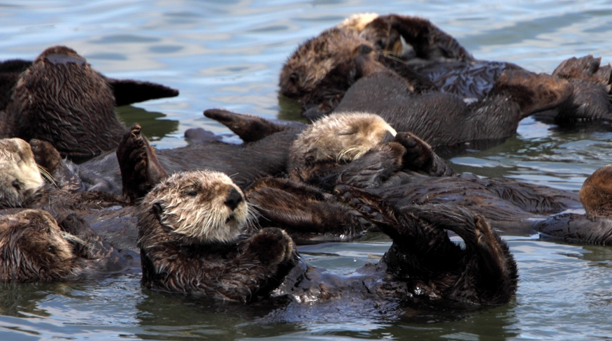 Sea otter numbers are up. So, what does it mean?