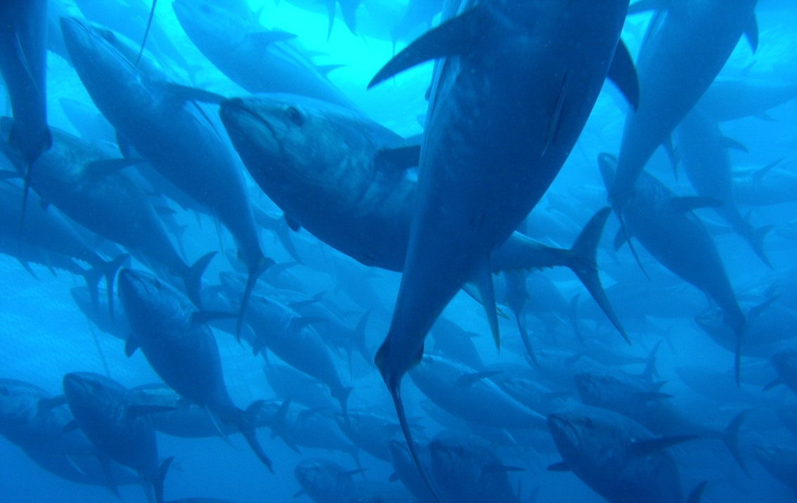 Feeding hotspots for Pacific bluefin tuna – discovered