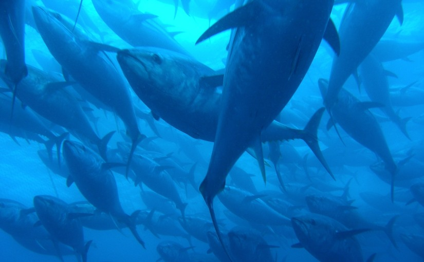 Feeding hotspots for Pacific bluefin tuna –discovered