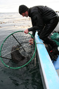 Divers using rebreathers capture sea otters as part of field research studies. Photo courtesy California Department of Fish and Wildlife.