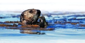 Sea otter in kelp-USGS-