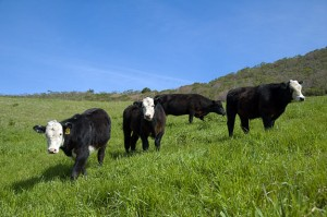 Compost is returned to the fields to nurture grasslands that feed the TomKat beef herd.