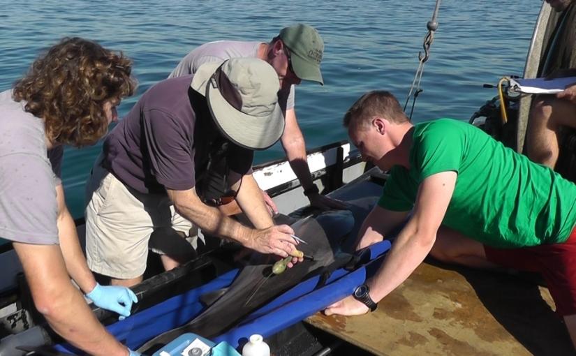 Unlikely landing for white sharktag