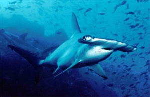 Hammerhead sharks are among the species protected under the Convention on International Trade in Endangered Species (CITES). Photo courtesy CITES