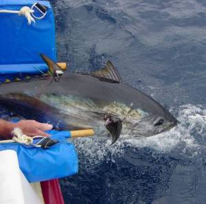A tagged Pacific bluefin tuna is returned to the wild by the TRCC team. Photo courtesy Tuna Research and Conservation Center.