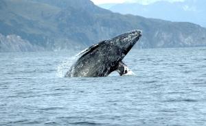 Gray whale-noaa