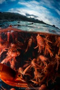 Pelagic red crabs_Patrick Webster