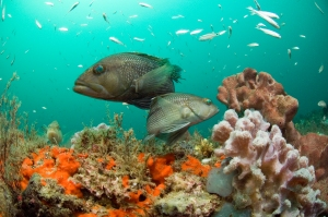 Fishes can swim away to find suitable habitats as the ocean warms. Sedentary animals like corals may die if they can't adapt. Photo courtesy NOAA
