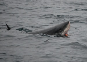 White shark swallows a feeding tag. Photo courtesy Sal Jorgensen.