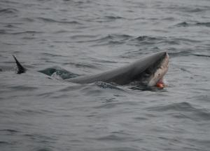 White shark swallows a feeding tag. Photo courtesy Sal Jorgensen.
