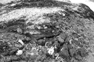 Ancient DNA from bones in midden sites like this in California's Channel Islands will be sequenced, too. Photo © National Park Service
