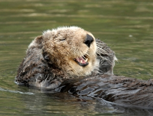 Genes from 60 individual sea otters will be sequenced as part of the project. Photo © Jim Capwell.