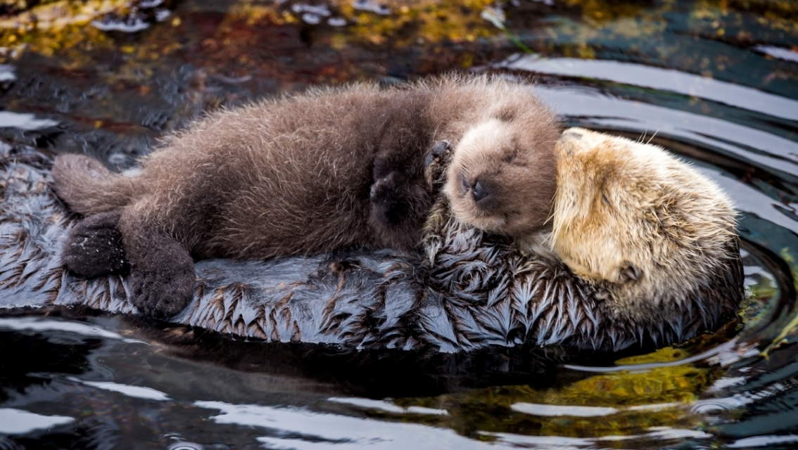 Decoding the sea otter genome
