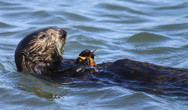 Image of: Sea Otters And Abalone Special Synergy At The Monterey Bay Aquarium Wordpresscom Sea Otters And Abalone Special Synergy Conservation Science