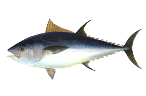 Atlantic bluefin tuna_NOAA