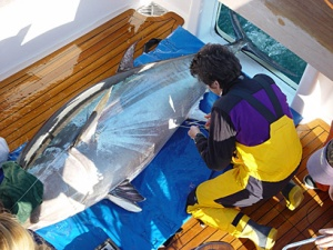 Barbara Block and other TRCC researchers have perfected the art of tagging giant bluefin tuna at sea.