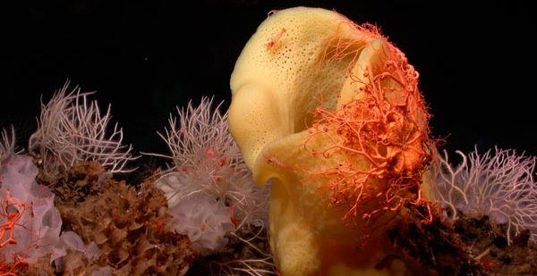 MBARI's Deep-Sea Guide features everything from sponges to sea stars. These were found at Davidson Seamount. Photo courtesy Monterey Bay National Marine Sanctuary.