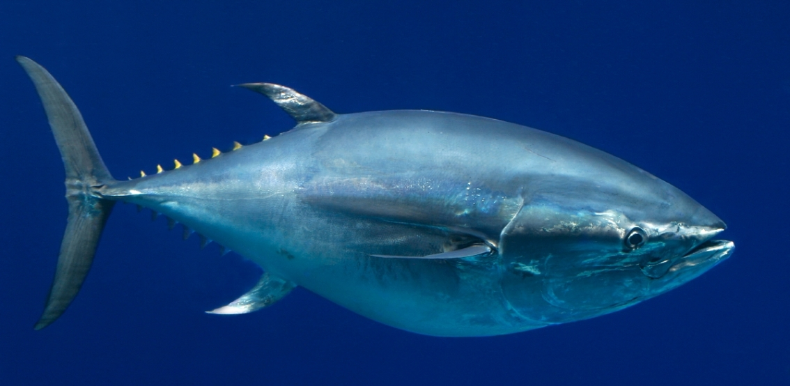 A powerful collaboration to ensure the future of bluefin tunas